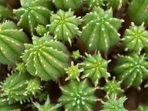 Cactus de la visión superior Foto de archivo