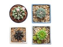 Cactus de la visión superior aislado en el fondo blanco Fotos de archivo