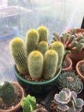 Cactus de leninghausii de Parodia Images libres de droits