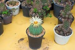 Cactus de los asterias de Astrophytum con la flor en el pote Fotos de archivo