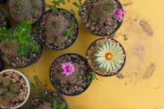 Cactus de los asterias de Astrophytum con la flor en el pote Imagen de archivo