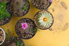 Cactus de los asterias de Astrophytum con la flor en el pote Fotos de archivo libres de regalías