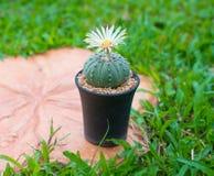 Cactus de los asterias de Astrophytum con la flor en el pote Foto de archivo libre de regalías