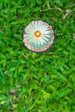 Cactus de los asterias de Astrophytum con la flor en pote en backgrou de la hierba Fotografía de archivo libre de regalías
