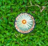 Cactus de los asterias de Astrophytum con la flor en pote en backgrou de la hierba Imagen de archivo libre de regalías
