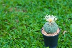 Cactus de los asterias de Astrophytum con la flor en pote en backgrou de la hierba Foto de archivo