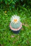 Cactus de los asterias de Astrophytum con la flor en pote en backgroud de la hierba Fotos de archivo