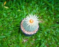 Cactus de los asterias de Astrophytum con la flor en pote en backgroud de la hierba Foto de archivo