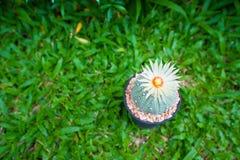 Cactus de los asterias de Astrophytum con la flor en pote en backgroud de la hierba Imagen de archivo