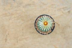 Cactus de los asterias de Astrophytum con la flor en pote en la piedra anaranjada f Fotos de archivo