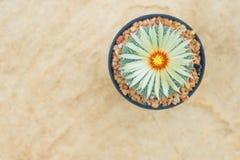 Cactus de los asterias de Astrophytum con la flor en pote en la piedra anaranjada f Imagen de archivo