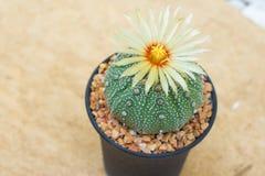 Cactus de los asterias de Astrophytum con la flor en pote en la piedra anaranjada f Fotos de archivo libres de regalías