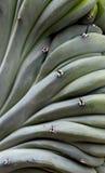 Cactus de los geometrizans del Myrtillocactus Imagen de archivo libre de regalías