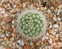 Cactus de Mammillaria images libres de droits