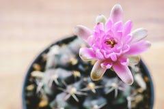 Cactus de mihanovichii de Gymnocalycium Photo libre de droits