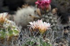 Cactus de Neoporteria image stock