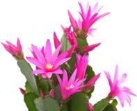 Cactus de Noël Image libre de droits