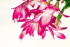 Cactus de Noël Image stock