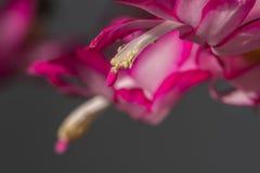 Cactus de Noël Photographie stock libre de droits