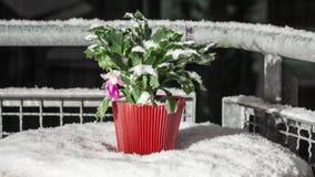 Cactus de Noël avec la pluie verglaçante et le laps de temps de neige banque de vidéos