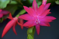 Cactus de Noël rose Cactus de thanksgiving Cactus de vacances de crabe Zygocactus de Truncata de Schlumbergera Images stock