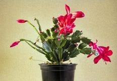 Cactus de Noël rouge Image stock