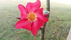 Cactus de Noël rouge dans Bartow, FL Photos stock