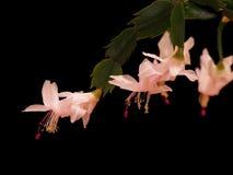 Cactus de Noël (Schlumbergera) Photo libre de droits