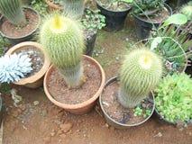 Cactus de oro de la bola, leninghausii de Parodia en macetas imagen de archivo libre de regalías