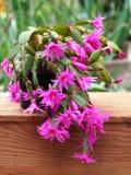 Cactus de Pâques sur la boîte en bois avec le fond vert Image libre de droits