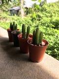 Cactus de Peruvianus del cirio foto de archivo libre de regalías