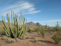 Cactus de pipe d'organe Image libre de droits