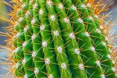 Cactus de plan rapproché Images libres de droits