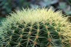 Cactus de plan rapproché cultivé dans le pot une usine succulente de tige épaisse et charnue qui soutient typiquement des épines photos libres de droits