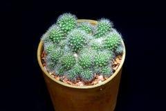 Cactus de plan rapproché dans le pot Photo stock