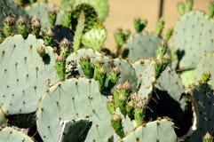 Cactus de poire de Texas Prickly avec le fruit vert photographie stock