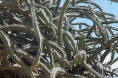 Cactus de poulpe Images libres de droits