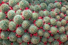 Cactus de prolifera de Mammillaria avec les transitoires courtes et les fruits rouges photo stock