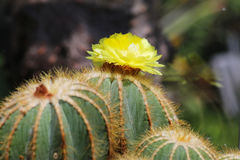Cactus de punta de Magnifica del notocactus con las flores amarillas Fotos de archivo libres de regalías
