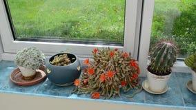 Cactus de riego del jardinero metrajes