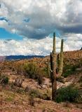 Cactus de Saguaro - bras enlacés Images stock