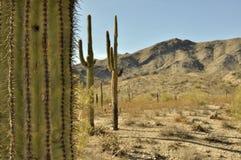 Cactus de Saguaro contre l'horizontal de désert Image libre de droits