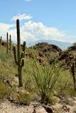 Cactus de Saguaro dans le désert Photo stock