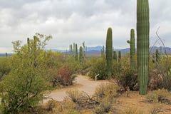 Cactus de Saguaro de lance le long d'un chemin d'enroulement Photo libre de droits