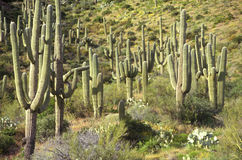 Cactus de Saguaro en monument national de Saguaro, Tucson, AZ Images libres de droits