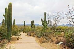Cactus de Saguaro de lance le long d'un chemin d'enroulement Images stock