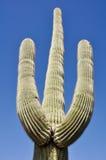 Cactus de Saguaro, parc national de cactus de tuyau d'organe, Arizona photos stock