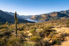 Cactus de Saguaro sur la terre de deesert donnant sur le lac apache images libres de droits