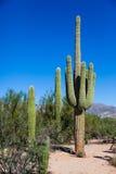 Cactus de Sauguaro, grupo de 3 Fotos de archivo