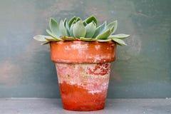 Cactus de sedum dans le vieux pot d'usine de victorian Image libre de droits